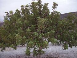 Cultivo ecológico de algarrobos en Murcia