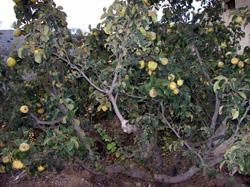 Cultivo ecológico de membrilleros en Murcia