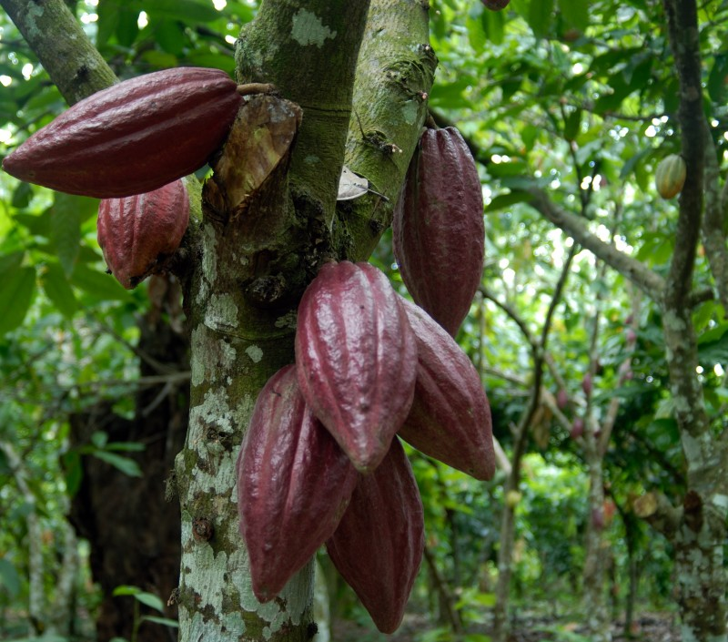 Los tipos de cacao - A Fuego Lento