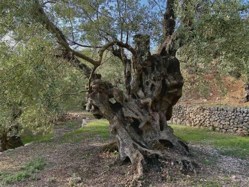 Mejor Olivo Monumental de España 2020, El Premio de la AEMO Llega a Mallorca