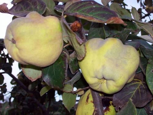 El Membrillo; fruto del regalo otoñal