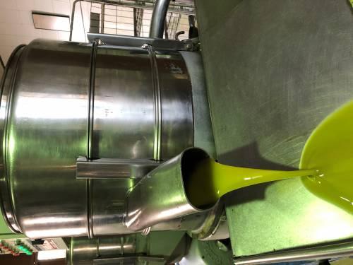 Los productores de la DO Oli de Mallorca, inmersos en la recolección de aceituna